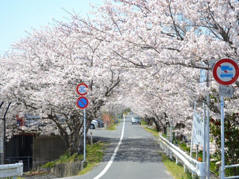 Cherry Blossom Events